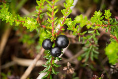Beautiful ripe crowberries in a summer forest after the rain. Shallow depth of field closeup macro photo Stock Image