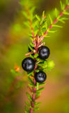 Beautiful ripe crowberries in a summer forest after the rain. Royalty Free Stock Photos