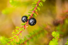 Beautiful ripe crowberries in a summer forest after the rain. Royalty Free Stock Photo