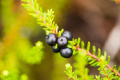 Beautiful ripe crowberries in a summer forest after the rain. Royalty Free Stock Image