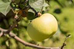 Beautiful ripe delicious apples on a tree branch in a summer garden royalty free stock photo