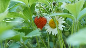 Beautiful ripe juicy strawberry on a bush next to a chamomile stock video