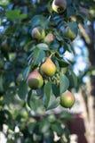 Beautiful ripe pears Stock Photography
