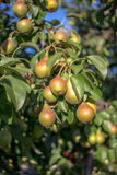 Beautiful ripe pears Stock Image