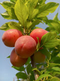 Beautiful ripe plums and blue summer sky Stock Photo