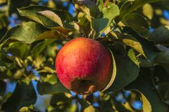 Beautiful ripe red apple on the apple tree Stock Photos