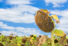 Beautiful ripe sunflower Royalty Free Stock Photos