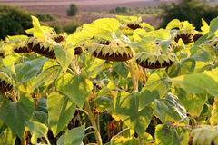 Beautiful ripe sunflower. Agriculture background Royalty Free Stock Image