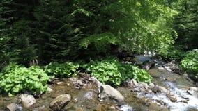 Beautiful river in Carpathian mountains stock footage