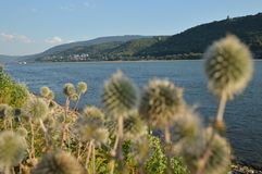 Beautiful river rhine with flowers near Bacharach Royalty Free Stock Photography