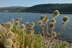 Beautiful river rhine with flowers near Bacharach Stock Images