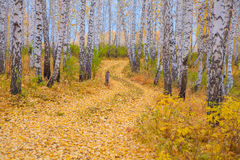 Beautiful road in the autumn forest. The birch grove. Golden leaves. Siberia, Russia Stock Photo