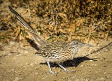 Foraging Greater Roadrunner royalty free stock photography