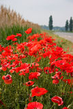 Beautiful roadside poppies. Bright red poppies shot low against a backdrop of reeds, sky and roadside Stock Images