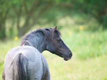 Beautiful Roan Pony Royalty Free Stock Images