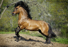 Beautiful roan stallion playing in paddock Stock Images
