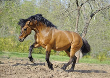 Beautiful roan stallion playing in the paddock. Beautiful roan stallion playing in paddock Stock Images