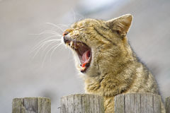 Beautiful roaring Cat Royalty Free Stock Photo