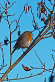 Beautiful robin bird Stock Image