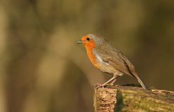 A beautiful Robin Erithacus rubecula perched on a log singing. Stock Images