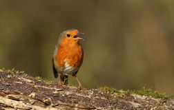 A beautiful Robin Erithacus rubecula perched on a log singing. Stock Photos