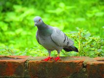 Rock dove or rock pigeon or common pigeon Columba livia is a member of the bird family Columbidae. royalty free stock images