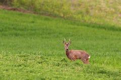 Beautiful roe deer buck grazing in alfalfa field Royalty Free Stock Photography
