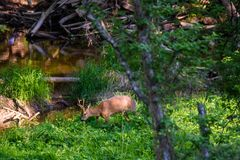 Beautiful Roe deer eating grass. Beautiful Roe deer eating grass at glen in forest near small river Stock Photography
