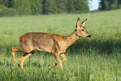Beautiful roe deer Royalty Free Stock Photos