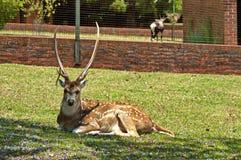 Beautiful roe deer Royalty Free Stock Photo