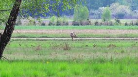 Beautiful roe at the meadow. stock footage