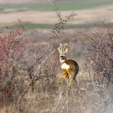 Beautiful roebuck in spring royalty free stock images