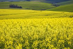 Beautiful rolling hills of Canola flowers in Spring. Caledon, Western Cape, South Africa. Exploring the landscapes around the Western Cape, South Africa stock photo
