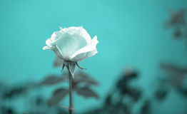 Beautiful romantic blue rose flower on toned green blur backgrou Stock Photography