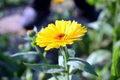 Beautiful romantic Flower. Beautiful romantic yellow Flower Stock Photography