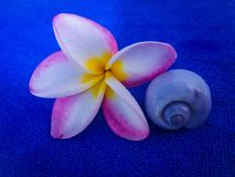 Beautiful romantic frangipani flower dinner time. Relaxing sweet romantic dinner with frangipani flower Stock Photos