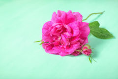 Beautiful romantic pink rose flower with bud and leaf lies on gr. Een background, close up Stock Photo