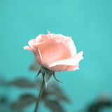 Beautiful romantic pink rose flower on toned green blur backgrou. Nd, vintage style, closeup Royalty Free Stock Photography