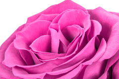 Beautiful romantic pink rose. On a white background Stock Photo