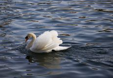 Beautiful white swan swimming in  a  swan lake. Beautiful and  romantic white swan swimming in  a  swan lake Stock Photos