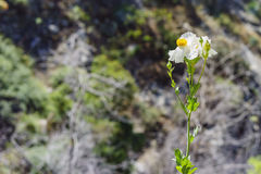 Beautiful Romneya coulteri. Saw on the trail of Fish Calls Trail Stock Photo