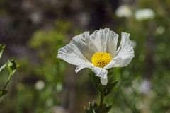 Beautiful Romneya coulteri. Saw on the trail of Fish Calls Trail Royalty Free Stock Photos