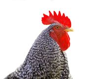 Beautiful rooster Stock Image