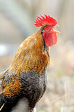 Beautiful Rooster stock images