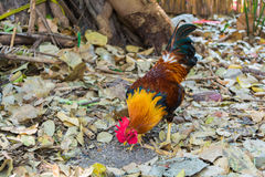 Beautiful rooster. A rooster is finding his foods.,rooster in thailand Royalty Free Stock Photo