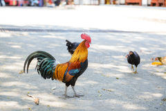 Beautiful rooster royalty free stock photography