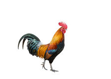 Beautiful rooster stock photo