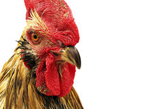 Beautiful rooster isolated on white background. Stock Photo