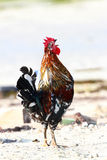 A beautiful Rooster making alarm sound Stock Image