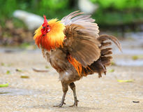 Beautiful Rooster Royalty Free Stock Image